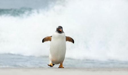 Close up of a Gentoo penguin on a beach near stormy ocean, Falkland Islands. 免版税图像