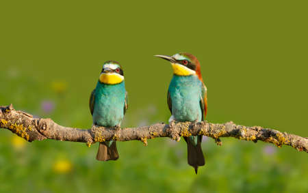 Close up of perched Bee-eaters in summer, Bulgaria.