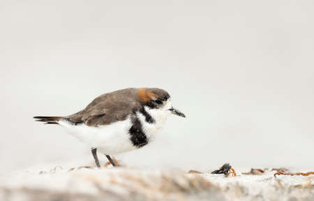 Close up of a two-banded plover on a sandy beach in the Falkland Islands.