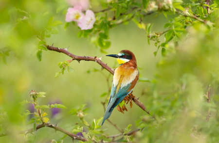 Close up of a perched Bee-eater in summer, Bulgaria.