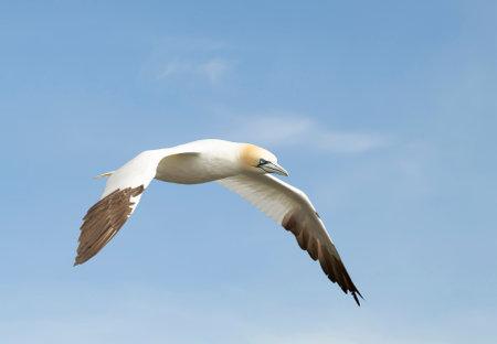 Close up of a Northern gannet (Morus bassana) in flight against blue sky in Noss, Shetland, UK. 免版税图像