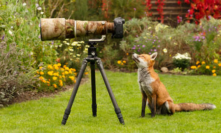 Close up of a red fox (Vulpes vulpes) curiously looking at a camera lens, United Kingdom.