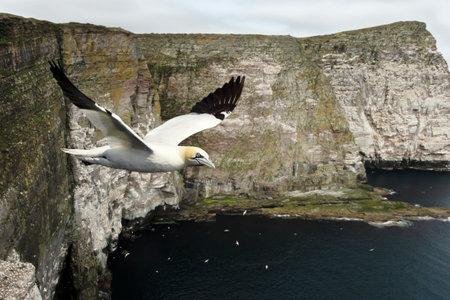 Close up of a Northern gannet (Morus bassana) in flight against coastal cliffs in Noss island, UK.