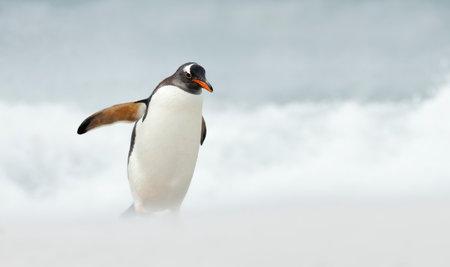 Close up of a Gentoo penguin on a beach by Atlantic ocean, Falkland Islands.
