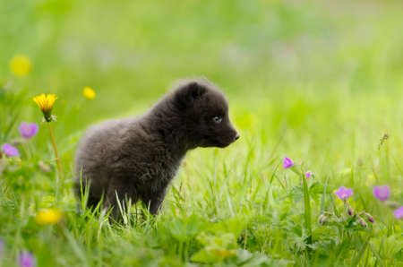 Close-up of a cute Arctic fox cub in a meadow with flowers, Iceland. 免版税图像