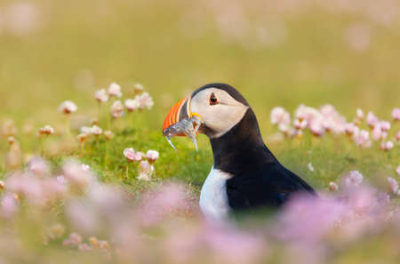 Close up of Atlantic puffin with sand eels in pink sea thrift flowers on a coastal area of Scotland, UK