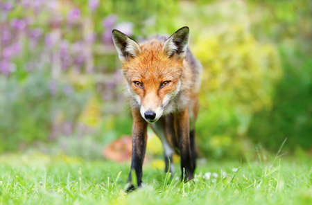 Close up of a red fox (Vulpes vulpes) in summer, United Kingdom.