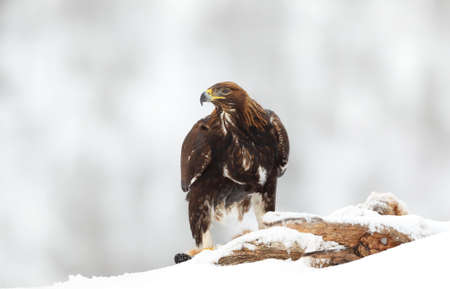 Close up of a Golden Eagle (Aquila chrysaetos) in the highlands of Norway in winter.