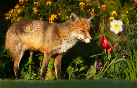 Close up of a red fox (Vulpes vulpes) smelling spring flowers, UK. 免版税图像