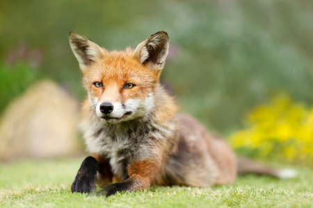 Close up of a red fox (Vulpes vulpes) lying on green grass, United Kingdom.
