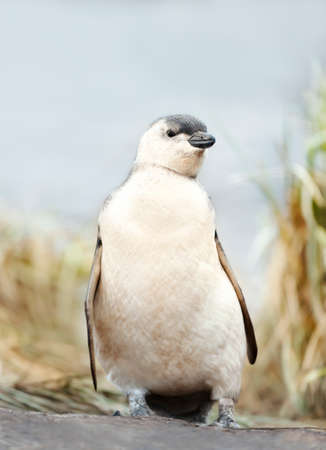 Close up of a Magellanic penguin chick standing on a sandy beach in the Falkland Islands.