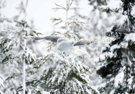 Great grey owl (Strix nebulosa) in flight in winter, Finland.