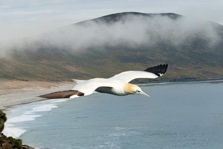 Close up of a Northern gannet (Morus bassana) in flight.
