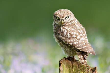 Close up of a little owl perched on a post against colorful background, UK. 免版税图像