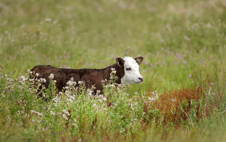 Close up of a calf surrounded by flies in a meadow in summer, UK.