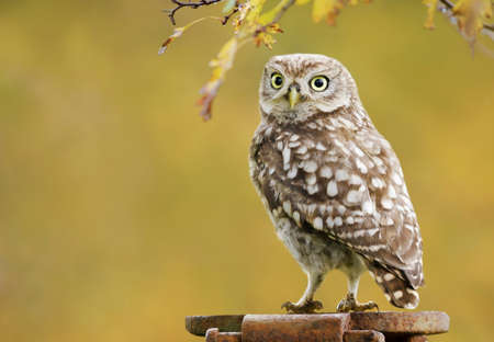 Close up of a little owl perched on a metal post against colorful background in autumn, UK.
