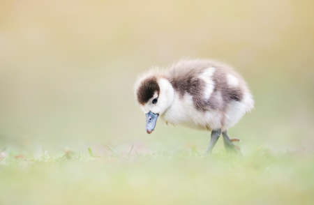 Close up of a Egyptian goose gosling in grass, UK.