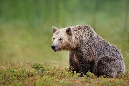 Close up of an large Eurasian Brown Bear in Finnish forest. 免版税图像