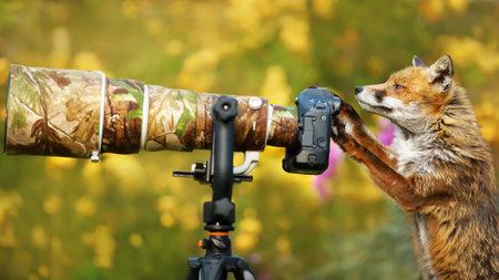 Curious red fox inspects camera gear left in the garden, UK. 免版税图像