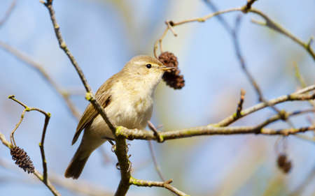 Common chiffchaff perching in a tree in a natural habitat, UK. 免版税图像