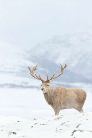 Close up of a Red deer stag in winter, UK.