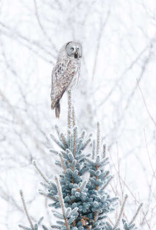 Great grey owl (Lapland owl) perched on a spruce, Finland.
