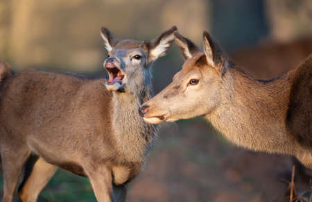 Close up of a Red deer hind with a calf, UK.