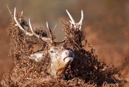 Portrait of a red deer stag with bracken on antlers during rutting season in autumn, UK.