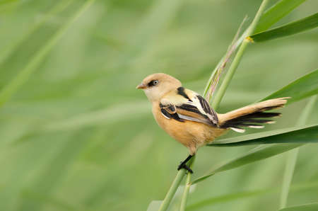 Juvenile bearded reedling perched on a reed in wetlands, UK.