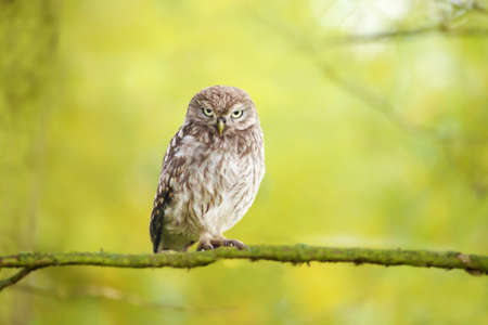 Close up of a little owl perched on a tree branch against green background, UK.