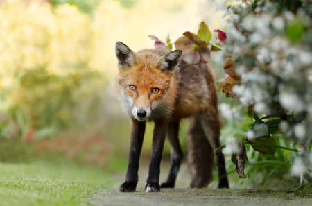 Close up of a red fox (Vulpes vulpes) standing in a garden, United Kingdom.