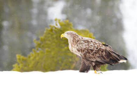 Close-up of a white-tailed eagle (Haliaeetus albicilla) walking on snow in winter, Norway. 免版税图像