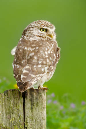 Close up of a Little owl perched on a wooden post against green background, UK.