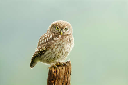 Close up of a little owl perched on a post, UK. 免版税图像