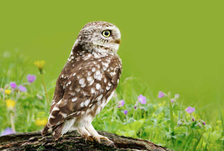 Close up of a little owl perched on a log in a meadow, UK.