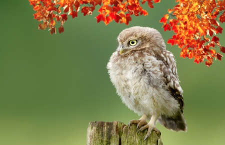 Close up of a Little owl perched on a wooden post in autumn against green background, UK.