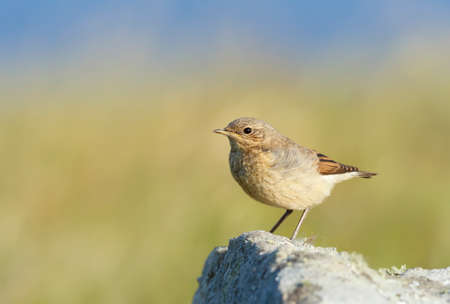 Close up of a juvenile Northern wheatear (Oenanthe oenanthe) perched on a rock against green background in summer, Scotland, UK.