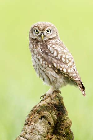 Close up of a Little Owl (Athene noctua) perching on a post, Worcestershire, UK.
