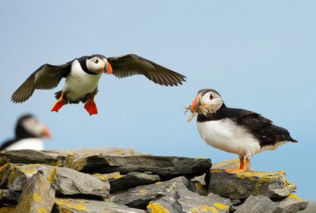 Close up of Atlantic puffins on a coastal area in Scotland, UK.
