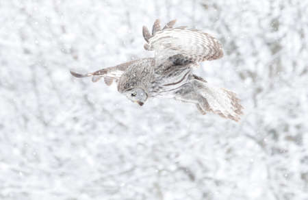 Close up of a Great grey owl (Lapland owl) in flight in winter, Finland.