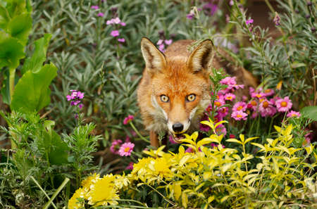 Close up of a red fox (Vulpes vulpes) standing in a flower bed, United Kingdom. 免版税图像