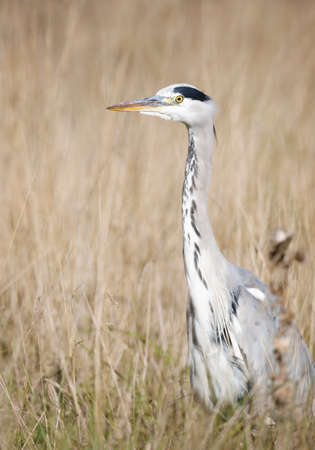 Close-up of a grey heron (Ardea cinerea) standing in tall yellow grass in autumn, UK.