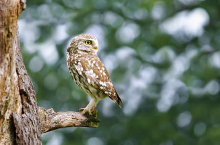 Close up of a little owl perched in a tree, UK.