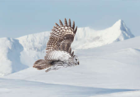 Close up of Great grey owl (Lapland owl) in flight in winter.