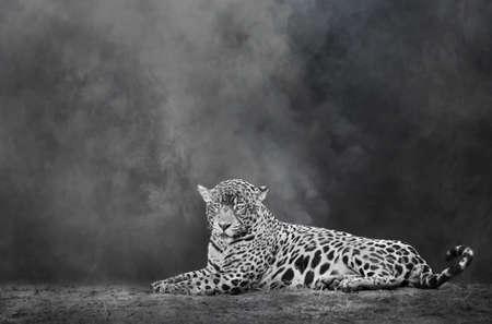 Black and white image of a Jaguar lying on a river bank, Pantanal, Brazil.