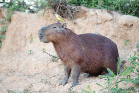 Close up of a Capybara with a bird Cattle tyrant sitting on a head, South Pantanal, Brazil.