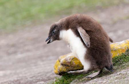 Close up of a Rockhopper penguin chick, Falkland Islands. 版權商用圖片