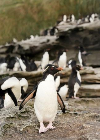 Close up of a Sothern rockhopper penguin (Eudyptes chrysocome) in rookery, Saunders island, Falkland Islands. 版權商用圖片