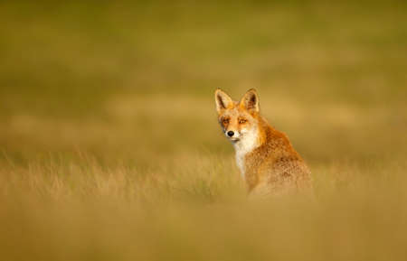 Red fox (vulpes vulpes) sitting in grass at sunset in the golden light.