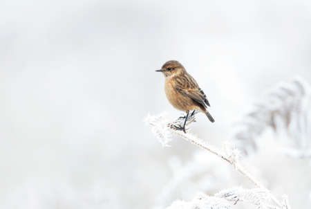 European stonechat on a frosted perch in winter, UK.